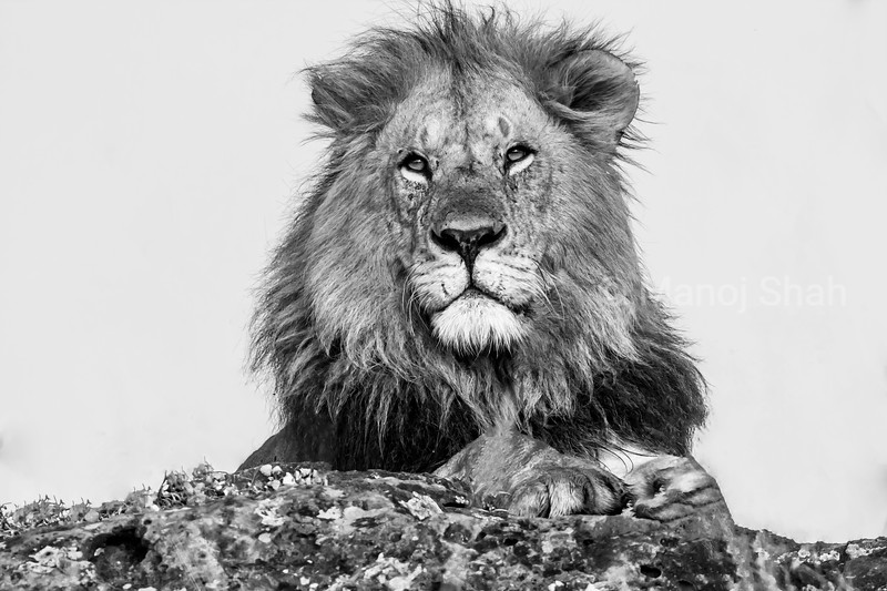 Male Lion observing the environment in Masai Mara