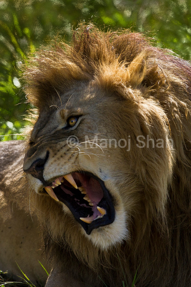 Male lion snarling