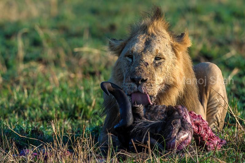Male lion feeding on a wildebeest kill in Masai Mara.