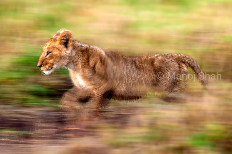 LIon cub running in Masai Mara savanna.