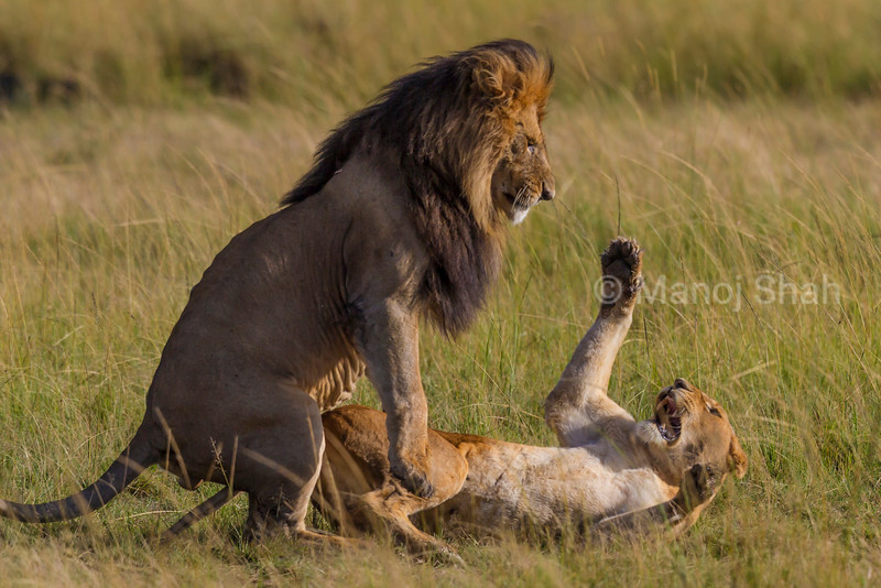 lioness tries to strike the male with her paw during mating climax - Masai Mara National Reserve, Kenya
