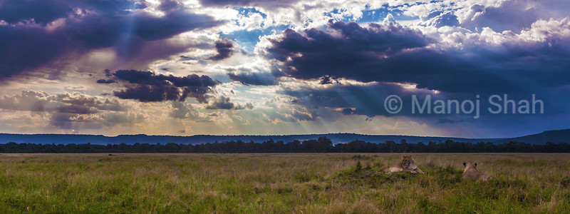 Landscape view of lions resting in Masai Mara