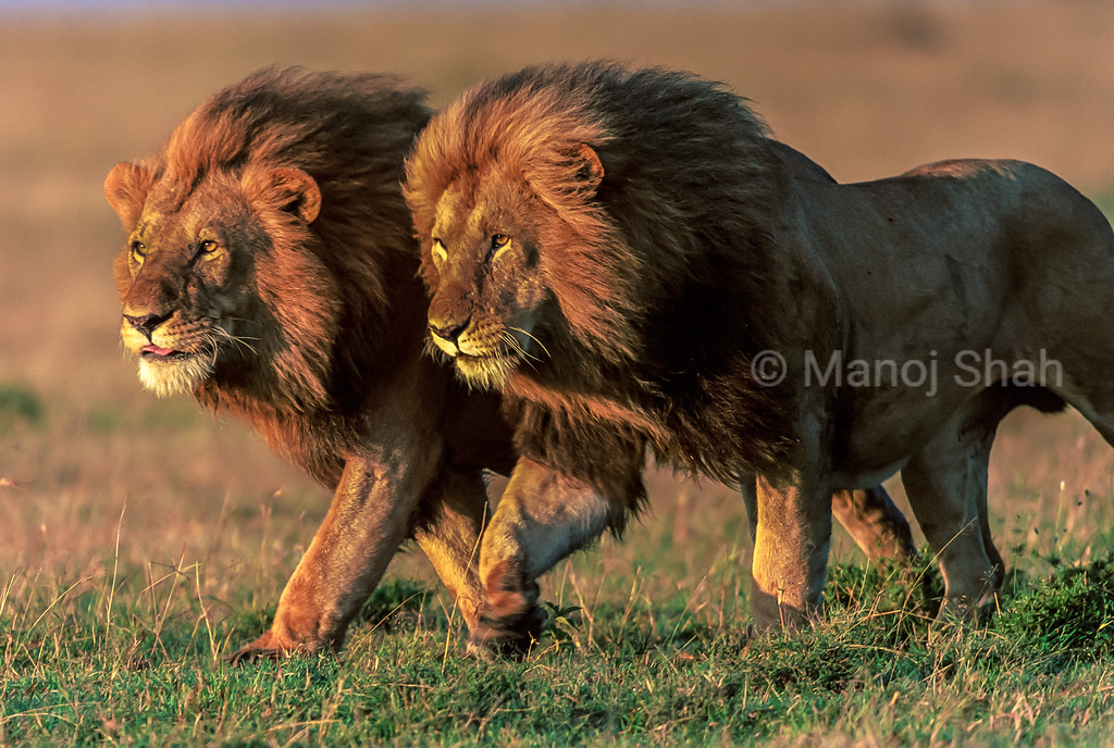 Two male lion brothers taking a morning walk in their territorial area in the Masai Mara.