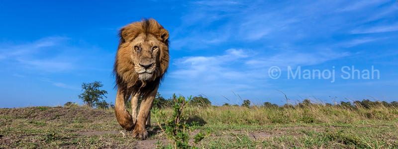 Male lion walking on the plaind of Masai Mara savanna.
