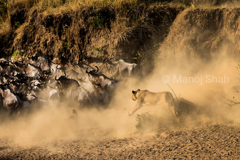 Lioness running after the migrating wildebeest drawing up a cloud of dust, as the day is hot and dry.
