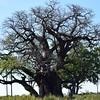 DSC_0550 (1) w Boab Tree