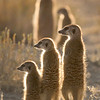 Meerkats in A line
