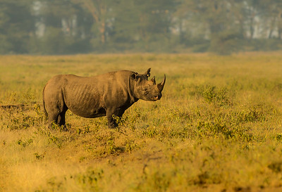 Black Rhino, male