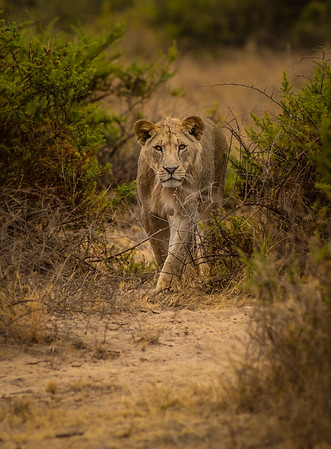Lion young male
