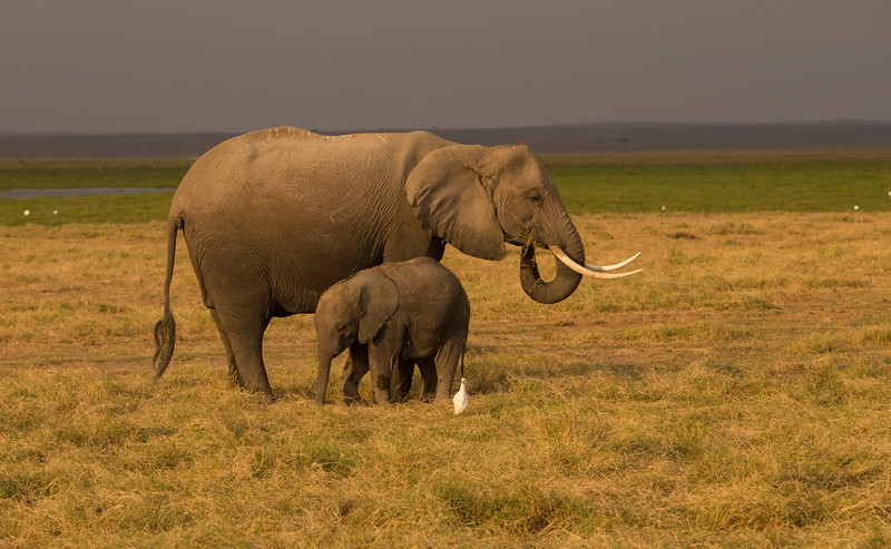 African Elephant with family