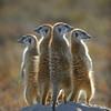 Meerkats On A Rock