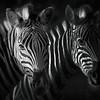 Zebras On Black