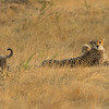 Cheetah with cubs