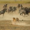 Cheetah chasing wildebeest