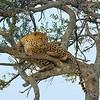 Leopard, male