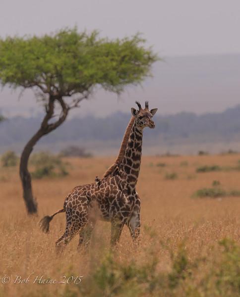 Giraffe Paradise