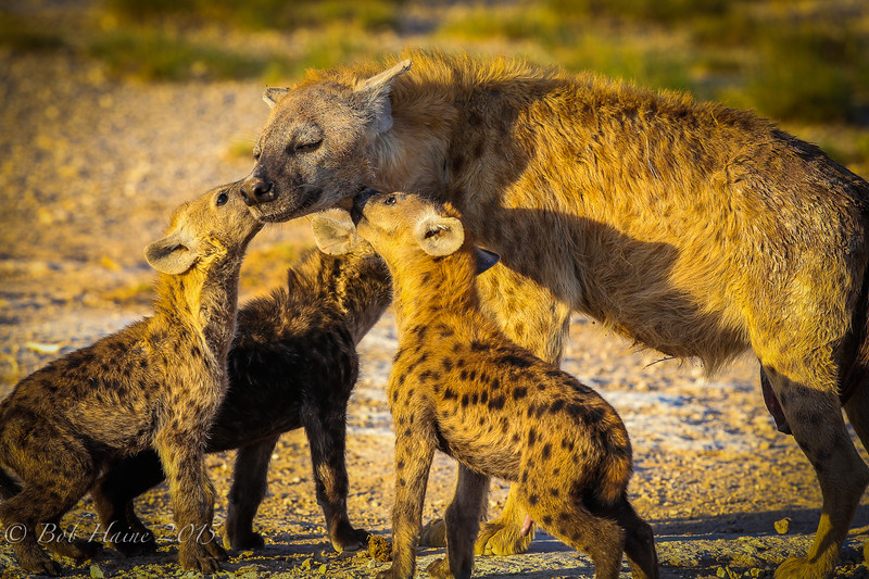Momma Hyena and her cubs