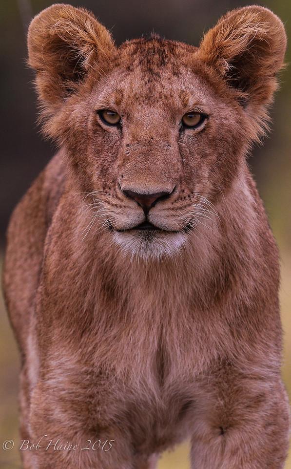 Curious Lion