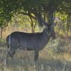 Waterbuck, Moremi Game Reserve, Botswana