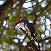 Southern Red-billed Hornbill, Maun, Botswana