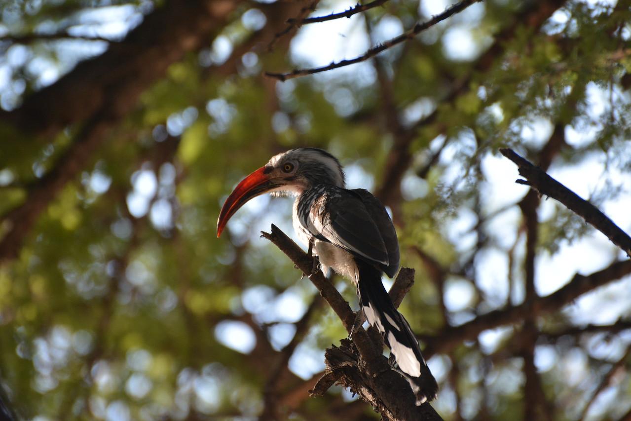 Southern Red-billed Hornbill, Maun, Botswana