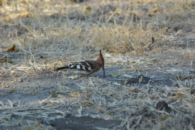 African Hoopoe, Maun, Botswana