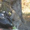 Vervet Monkey at Camp, Moremi Game Reserve, Botswana