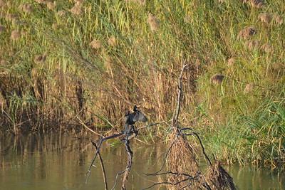 Reed Cormorant, Okavango River Near Shakawe, Botswana