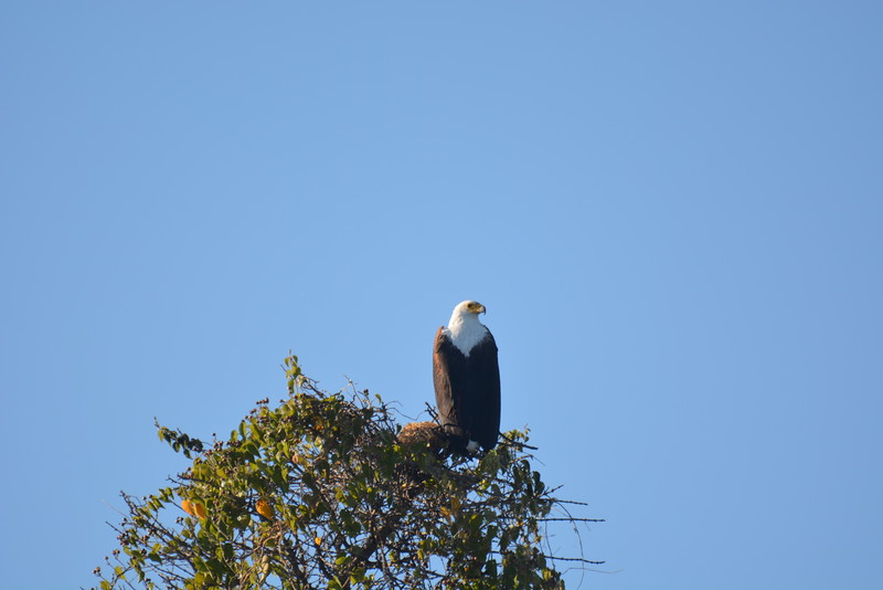 Fish Eagle, Okavango River Near Shakawe, Botswana