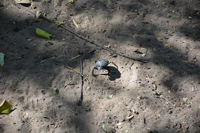 Scarab Beetle, Tsodilo Hills, Botswana