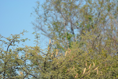 Pied Kingfisher, Okavango River Near Shakawe, Botswana