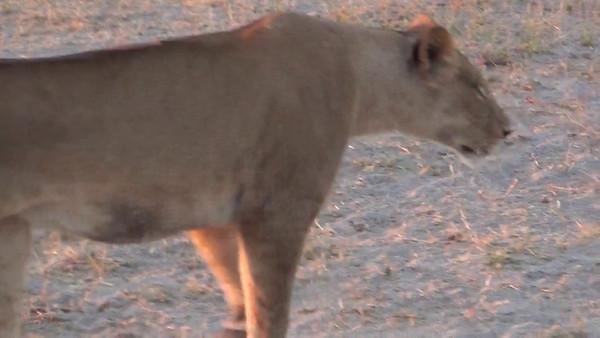 Lionesses Hunting, Serondela, Chobe National Park, Botswana