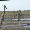 Giraffes, Serondela, Chobe National Park, Botswana