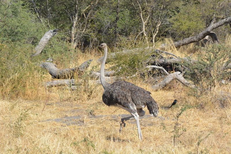 Female Ostrich, Between Maun and Shakawe, Botswana