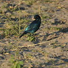 Greater Blue-eared Starling, Serondela, Chobe National Park, Botswana