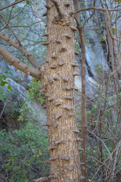 Unidentified Tree with Cool Bark, Tsodilo Hills, Botswana