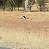 Southern Red-billed Hornbill, Serondela, Chobe National Park, Botswana