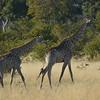 Giraffes, Moremi Game Reserve, Botswana