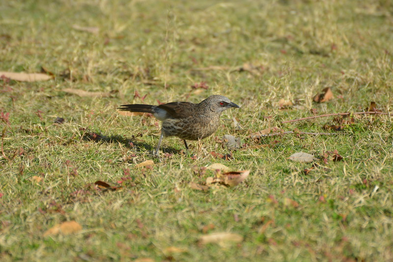 Hartlaub's Babbler, Maun, Botswana