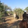 Giraffes, Mosi-oa-Tunya National Park, Zambia