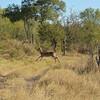 Reedbuck, Moremi Game Reserve, Botswana