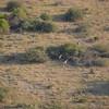 Giraffes, Okavango Delta, Botswana