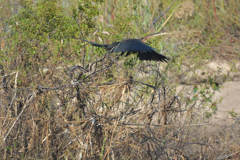 African Darter, Okavango River Near Shakawe, Botswana