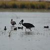 Open-billed Stork & White-faced Whistling Ducks, Chobe River, Chobe National Park, Botswana