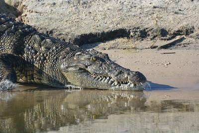 Nile Crocodile, Okavango River Near Shakawe, Botswana
