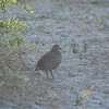 Red-necked Spurfowl, Serondela, Chobe National Park, Botswana