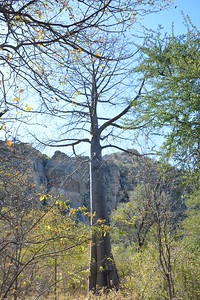 Baobob Tree, Tsodilo Hills, Botswana