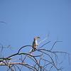 Southern Yellow-billed Hornbill, Tsodilo Hills, Botswana