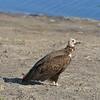 Hooded Vulture, Serondela, Chobe National Park, Botswana