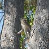 Vervet Monkey, Moremi Game Reserve, Botswana
